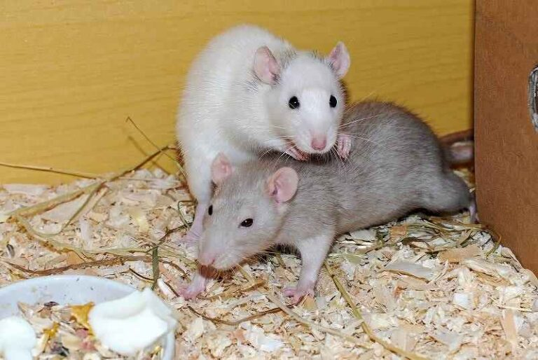 Are Rats Clean Pets