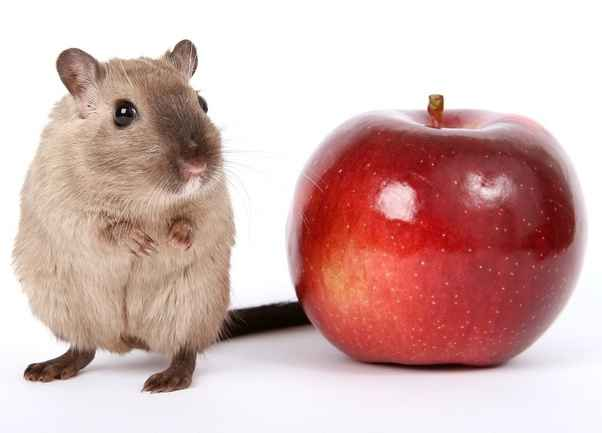 Can Rats Eat Apples off trees