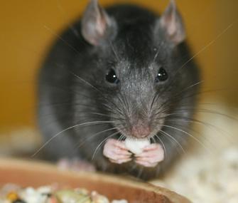 Can Rats Eat Dog Food