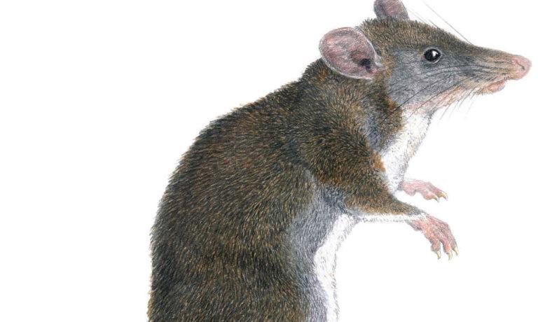 Can Rats Hop
