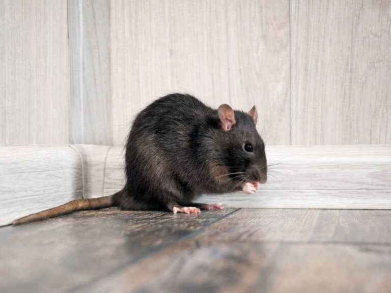 Can Rats Live Without a Tail