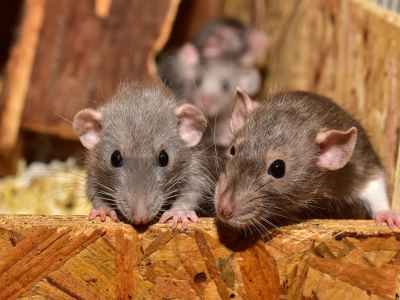 Can Rats and Mice Live Together
