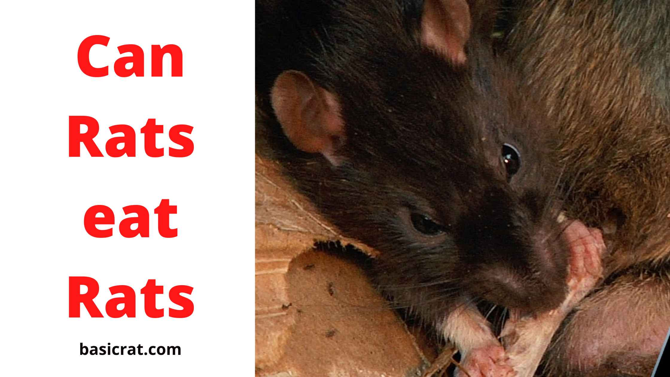 Can Rats eat Rats