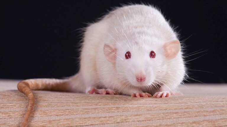 Can Rats with Red Eyes See