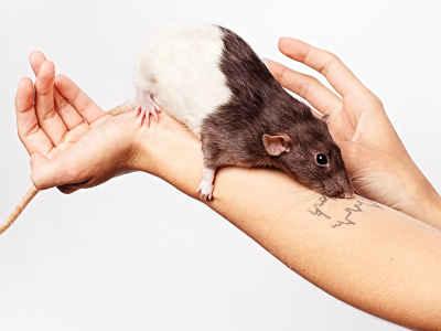 Can You Adopt A Pet Rat