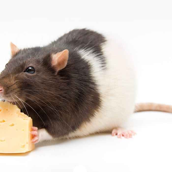 Cheap Pet Rat Supplies List