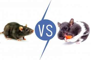 Differences Between Pet Rat and Pet Hamster