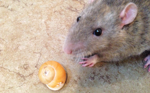 Do Rats eat Snails and Slugs