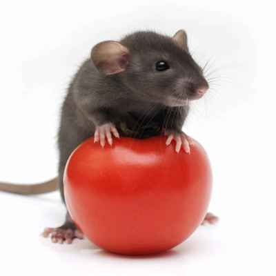 do rats eat tomatoes