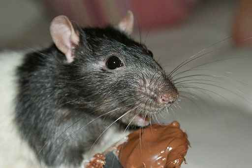 Do wild rats eat chocolate