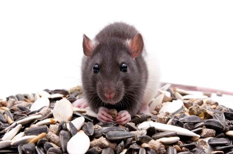 Good Treats for Mice