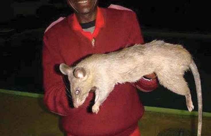 How Big Do Rats Get