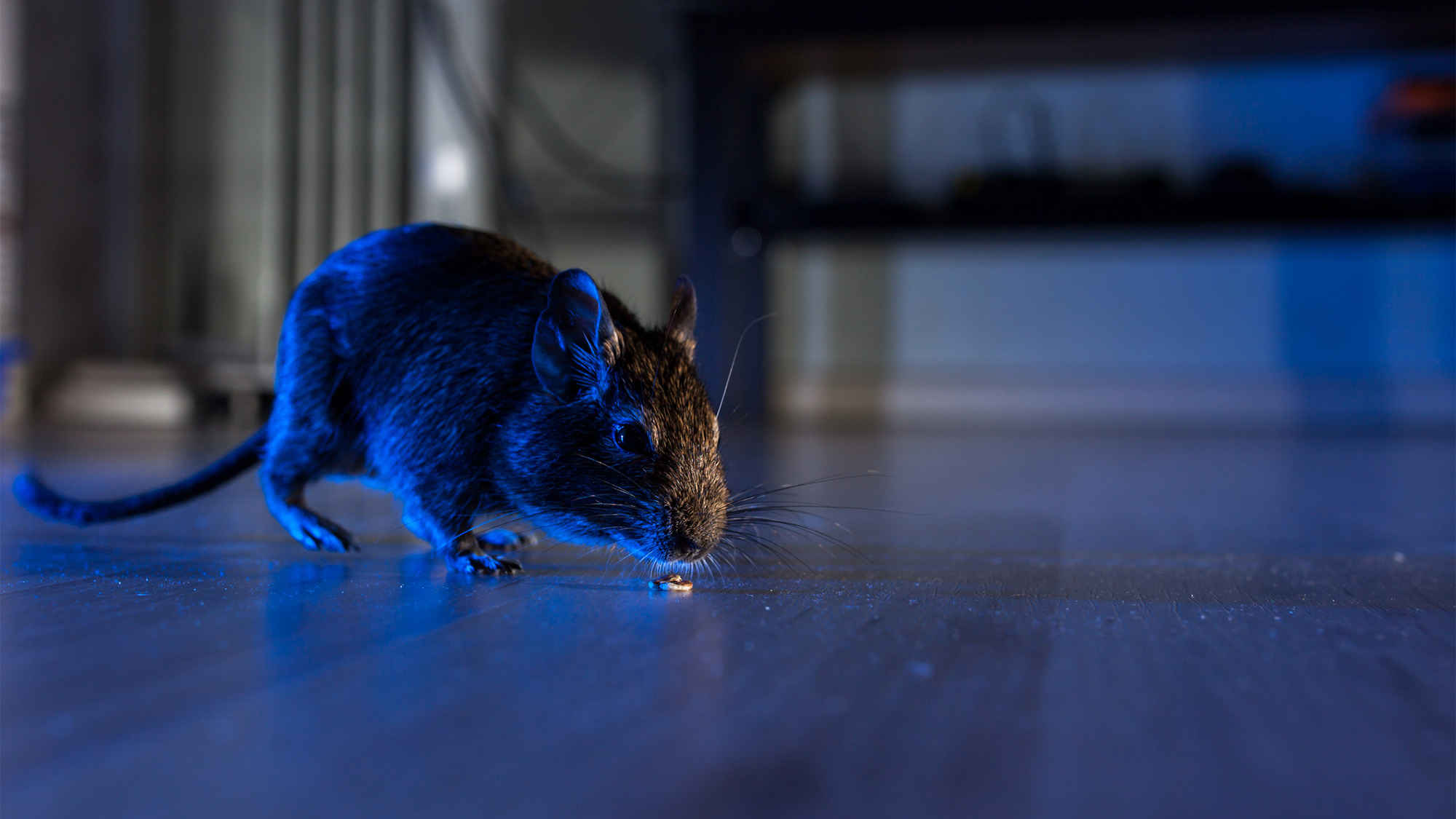 How Long Can Rats survive without Food