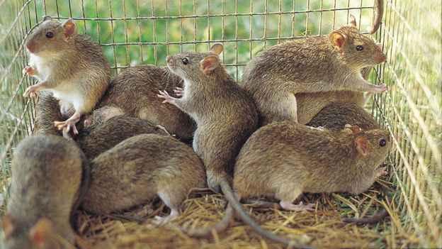 How Many Rats Should I Get