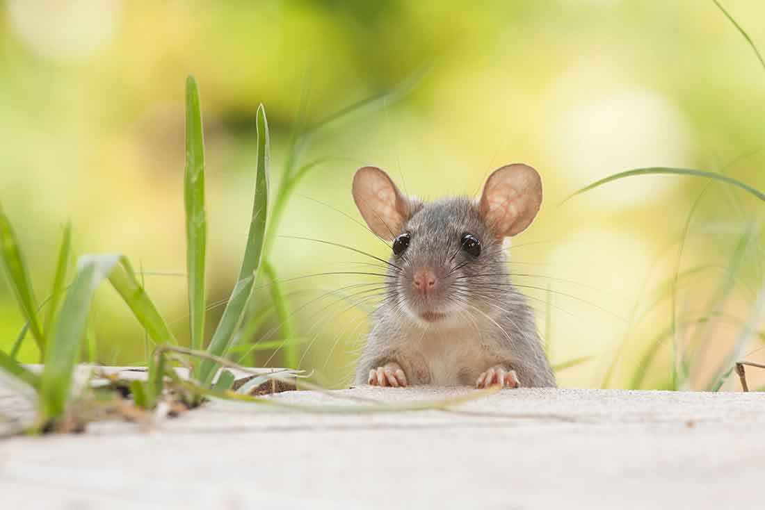 Is Hot Glue Toxic to Rats, Mice & Guinea Pigs? - FIND OUT - Basic Rat