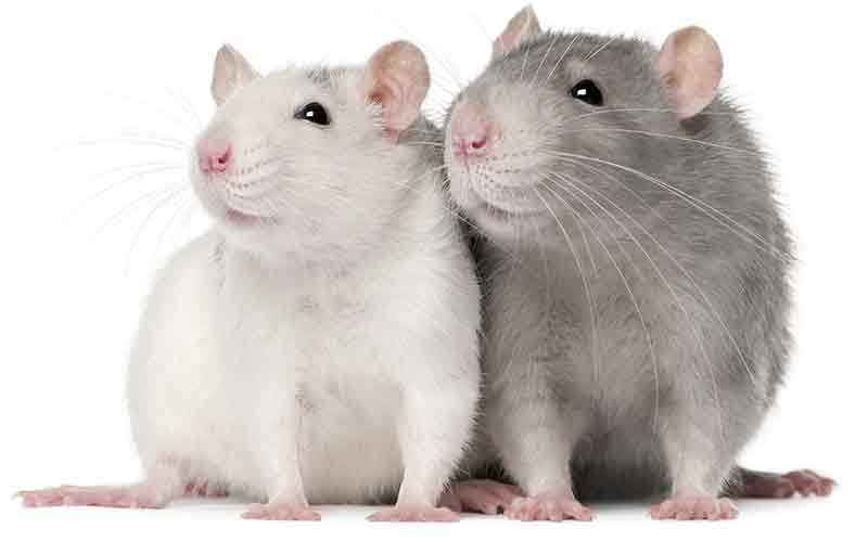 Male or Female Rats as Pets