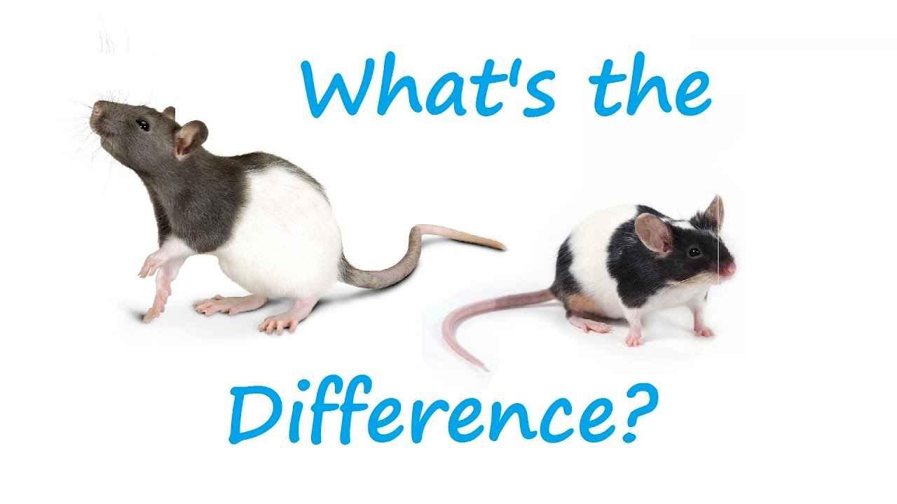 Pet Rat vs Pet Mice