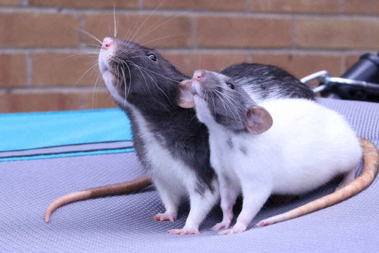 Sneezing Rats Home Remedies