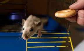 What Should I Feed My Pet Rat