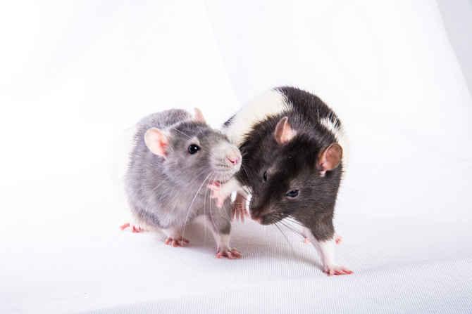 Wild Rats vs Pet Rats