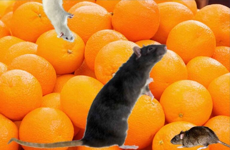Can Rats eat Oranges on Trees