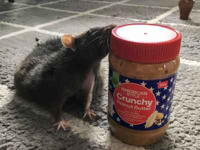 Can Rats eat Peanut Butter