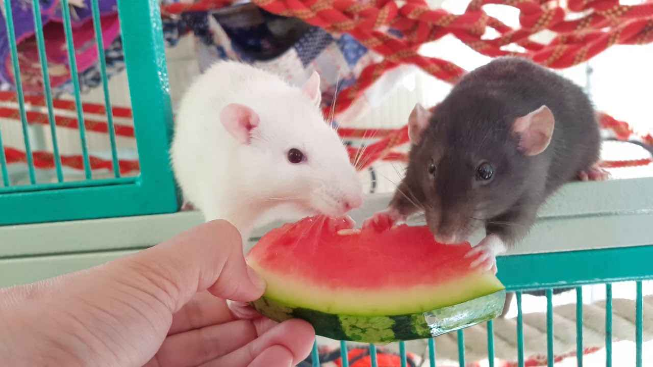 Can Rats eat Watermelon