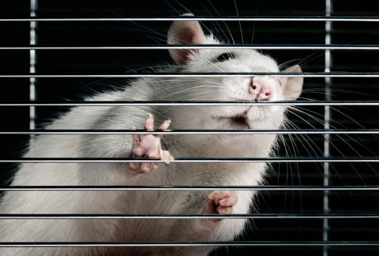 How Can I Tell if My Rat is Deaf