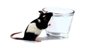 How Much Water do Rats Need?
