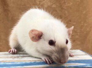How To Target Train Pet Rats