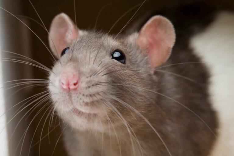 Promoting Good Behavior in Rats