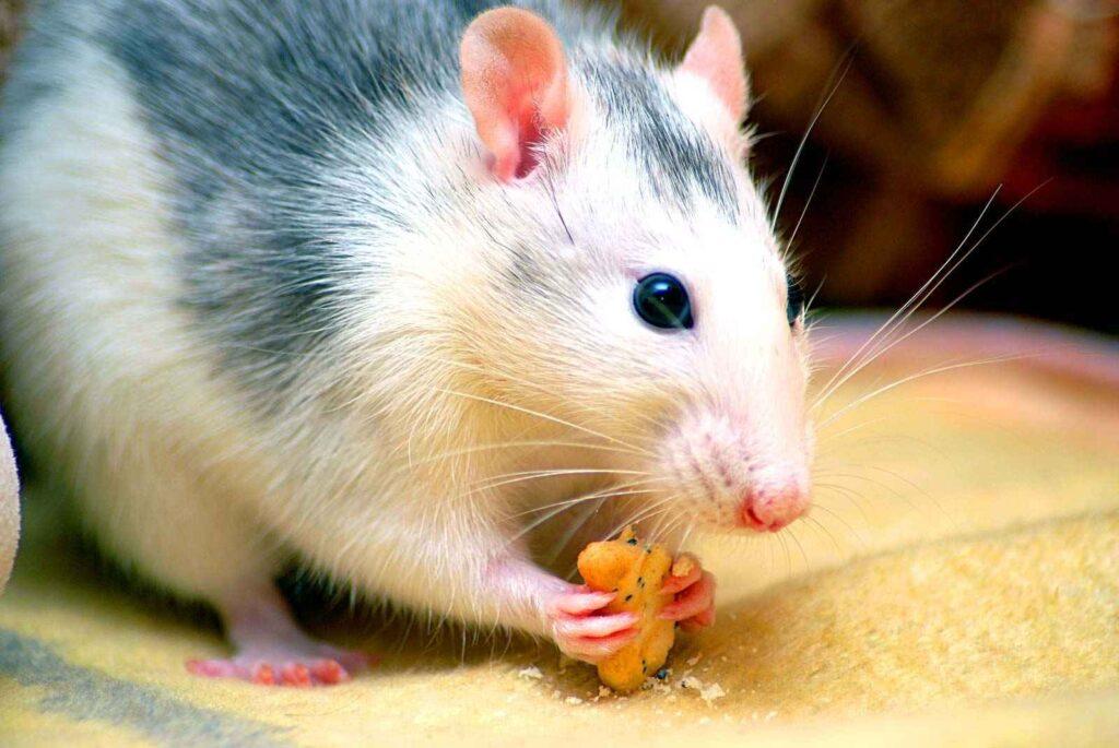 Rat Terminology