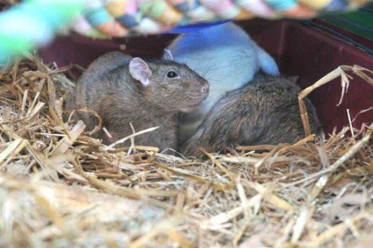 Socializing New Rats