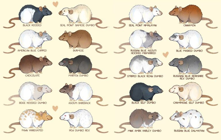 Types of Fancy Rats with picture