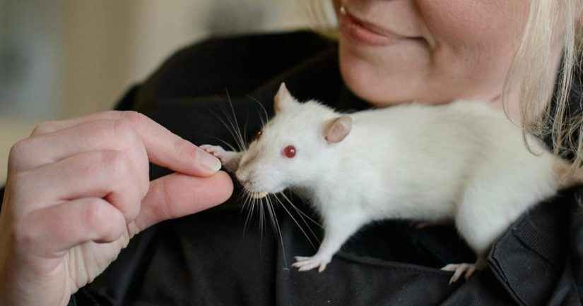 Why Pet Rats Bury Food