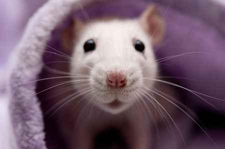 Why Rats Sneeze a Lot