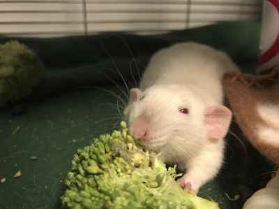 can rats eat broccoli