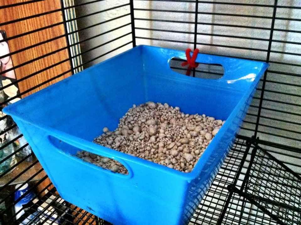 litter training a rat