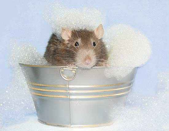 pet rat bath