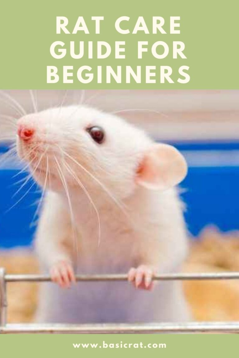 rat care guide for beginners