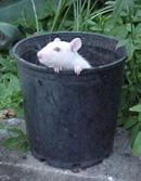 rat playing
