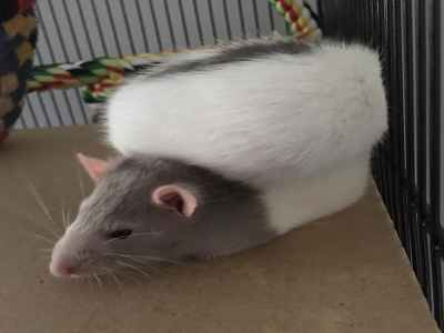 rats as pets care