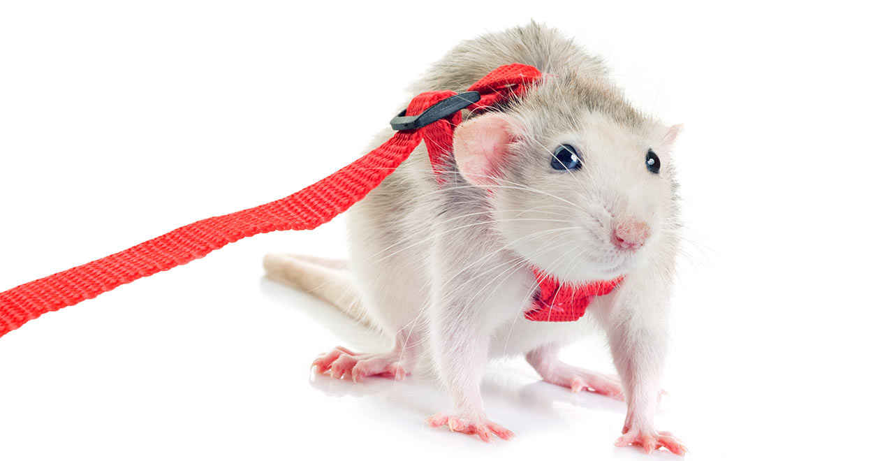 rats as pets pros and cons