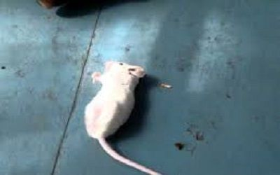 Can Rats have Seizures